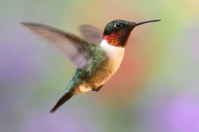 depositphotos_7927447-stock-photo-ruby-throated-hummingbird-in-flight