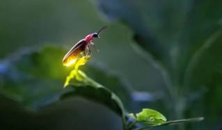 firefly.jpg.860x0_q70_crop-scale
